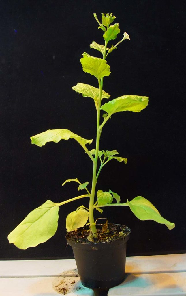 Nicotiana benthamiana'.
